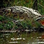 Keresztelés közben ölte meg a lelkészt a krokodil