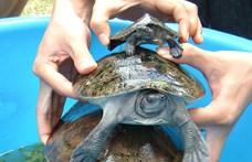 Három fészekben 51 tojást találtak a majdnem kihalt királyi teknősből