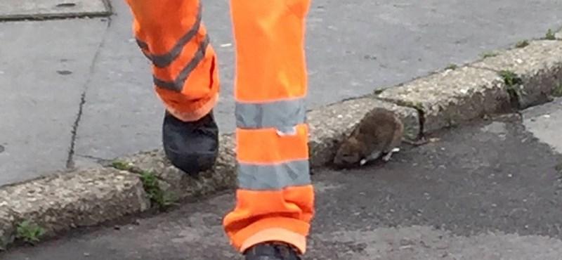 Több pénzt kaphat patkányirtásra a főváros