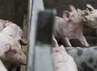 Közel kétezer sertés pusztult el Alsómocsoládon