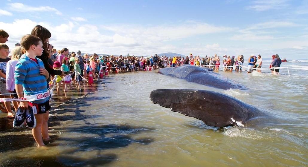 Partravetődött bálna Új Zélandon
