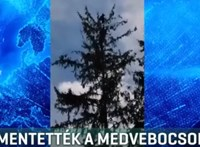 Fa tetejéről mentettek medvebocsokat Tusnádfürdőn