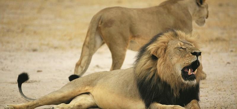Majdnem teljesen felfaltak az oroszlánok egy orvvadászt Afrikában