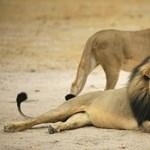 Oroszlánok faltak fel orrszarvúra pályázó orvvadászokat Dél-Afrikában