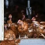 Mit hozott az állatok számára, hogy csirkefüggő lett az emberiség?
