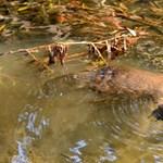 Szorul a hurok a kacsacsőrű emlős körül