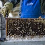 A méhgyilkos irtószer és a dilettáns méhészek számára véget ér a játszma