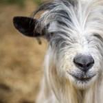Dányban tombol József, a kecske