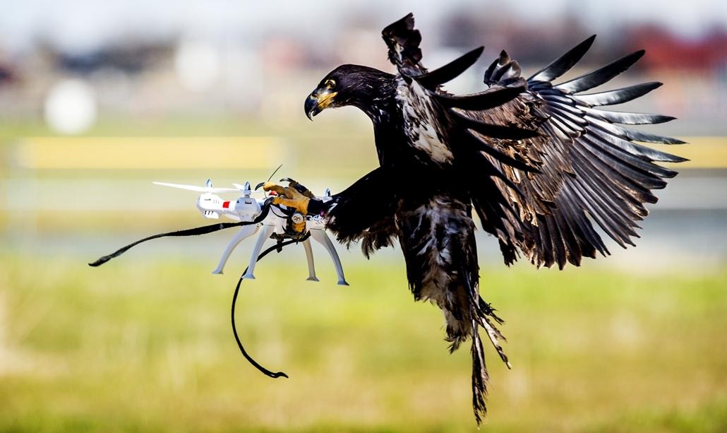 hét képei - afp.16.03.07. - Rendőrségi sas bevetésen: a hollandidai Guard from Above cég ragadozómadara lecsap egy drónra