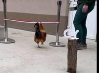 Egy kakas adta át a győri állatkert legújabb fejlesztését