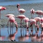 Kiábrándító dolgot derítettek ki tudósok a rózsaszín flamingókról