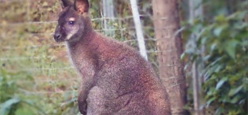 Elpusztult az Orosházán elgázolt kenguru
