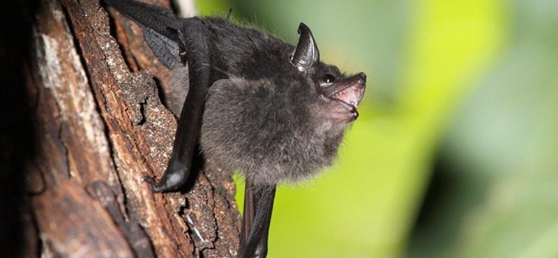 Escucha: así rugen los murciélagos