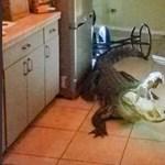 Reggeli kávé helyett egy aligátor fogadta a konyhában – videó