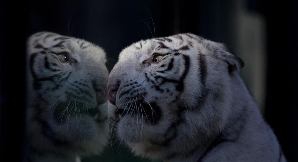 AP!!! hét képei - Buenos Aires, 2014.04.16. - Cleo, a Buenos Aires-i állatkert nőstény fehér bengáli tigrise kifutójának ablakánál 2014. április 16-án. Cleo három hónappal korábban adott életet három, két nőstény és egy hím tigriskölyöknek.