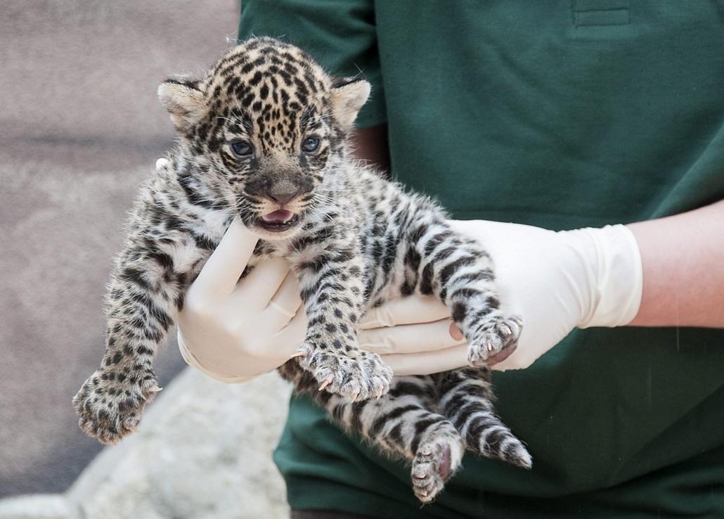 mti. 2014.04.29. Jaguár született a győri állatkertben