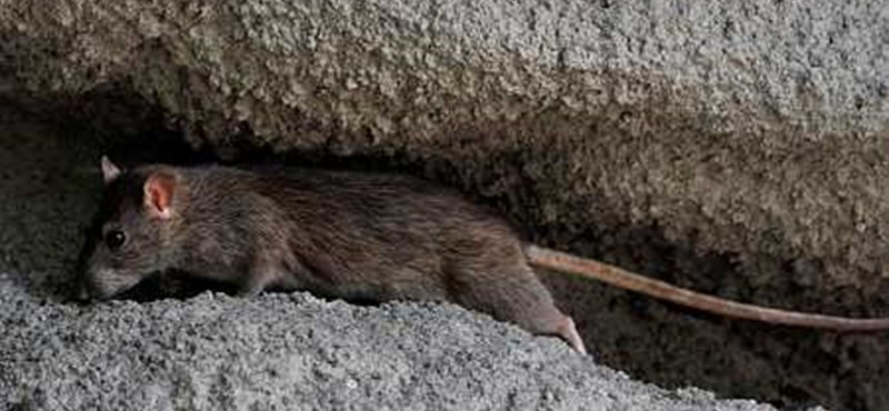 A patkányok miatt kellett otthon maradnia egy zuglói óvodai csoportnak