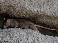 Lerágták Észtországot a patkányok a netről