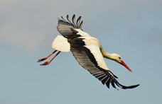 Az aszály drámája: a költő gólyákat támadják társaik Mikepércsen