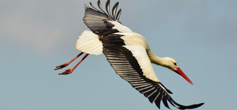 Hamarabb térnek haza a gólyák, és ez nagyobb baj, mint gondolná