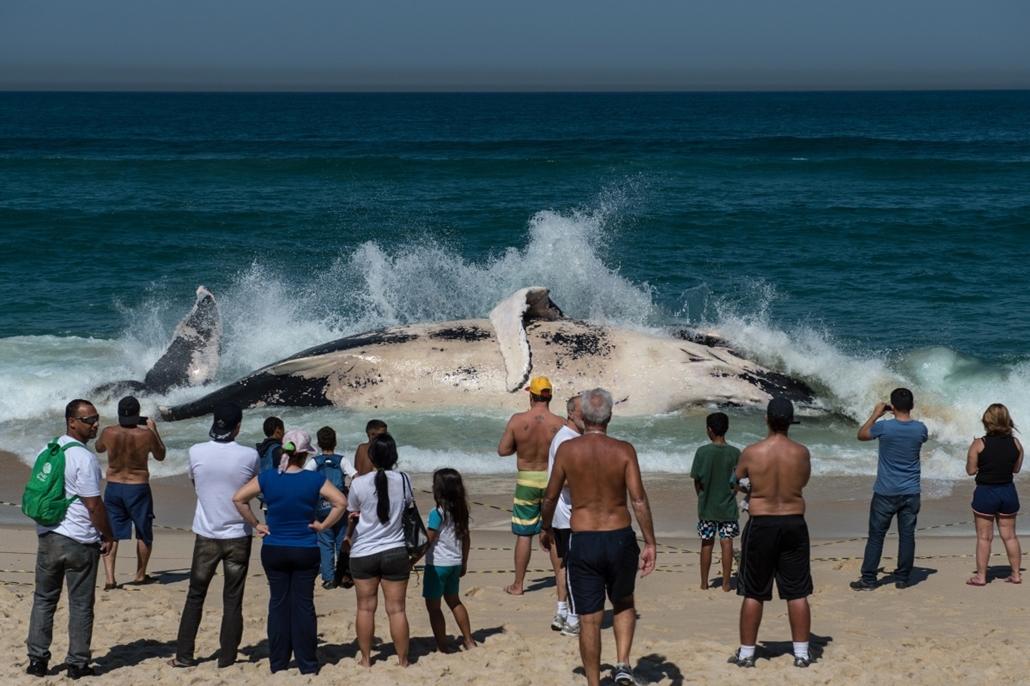 afp.14.08.11. - Rio de Janeiro, Brazília: hosszúszárnyú bálna a Macumba beach partján - 7képei