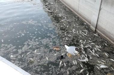 40 jet-skivel kavarnák fel a Velencei-tó vizét, hogy oxigénhez jussanak a halak