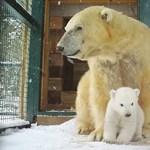 Elege van az év legszürkébb napjából? Nézegessen bébi jegesmedvét