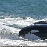 Ismét vemhes a kardszárnyú delfin, amely 17 napig gyászolta halott borját