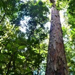 A tudósok sem értik, hogyan nőhetett 88 méteresre ez a fa