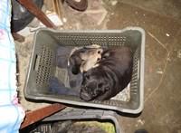 Letartóztatná az állatkínzással gyanúsított nyírbogáti házaspárt az ügyészség