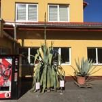 Szenzáció Miskolcon: negyven év után először kezdett virágozni egy ritka növény