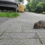 Népszava: már tavaly elkezdődött a patkányinvázió