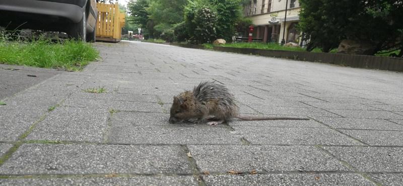 Tarlós azt vizsgálná, mi volt Karácsony felelőssége a patkányirtás-tender eredményében