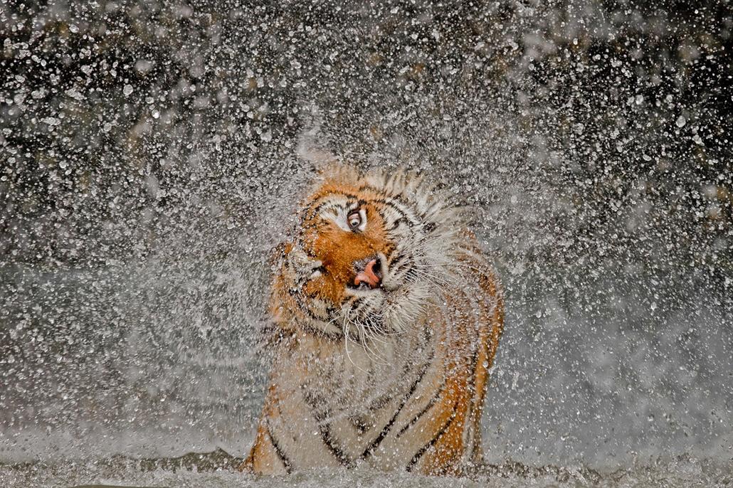 A National Geographic Photo Contest nagydíjas képe, természet kategória I. 'helyezett' kategória - Khao Kheow állatpark - Thaiföld, Chonburi- NatGeonagy
