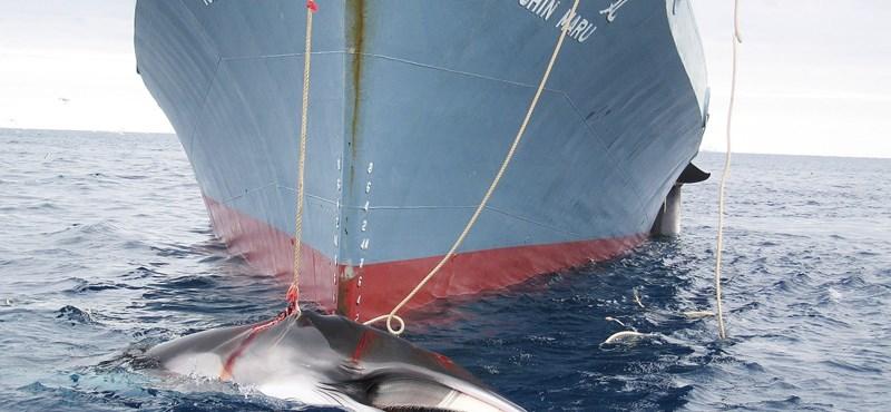 Nem vadászhat le több bálnát Japán az Antarktisznál