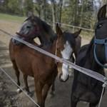 Itt a bizonyíték: a lovak is tudnak kommunikálni az emberekkel