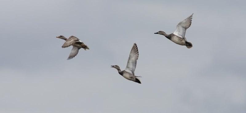 Ragasztóval fogják a madarakat Franciaországban, óriási büntetéssel fenyeget az EU