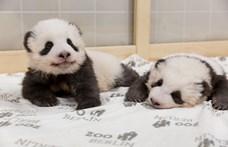 Mindenki odavan a berlini pandabocsokért – videó