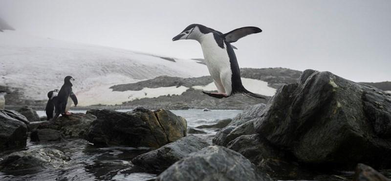 Drámaian csökkent a pingvinek száma az Antarktiszon