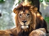 Az oroszlánpár 8 évig élt együtt, aztán a nőstény meggyilkolta a hímet