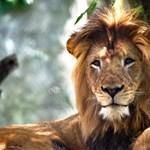 Etetési időben ment be az oroszlánokhoz a gondozó, épphogy túlélte