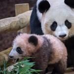 Bemutatkozott Franciaország első pandabocsa - videó