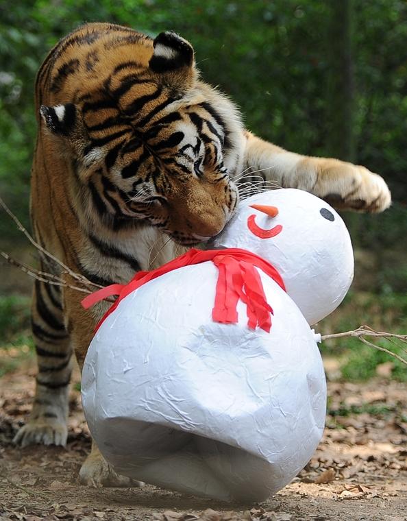 afp. hóember, 2011.12.21. szibériai tigris hóembert eszik - Brazília, Sao Paulo
