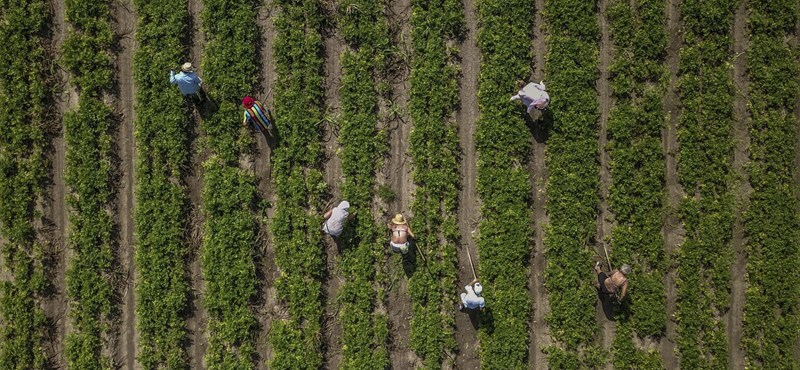 Cáfolják a termelők a Lidl 99 forintos dinnyére adott magyarázatát