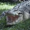 Kinyomta a rátámadó krokodil szemét egy ausztrál férfi