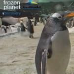 Élő közvetítés a pingvinek otthonából (videó)