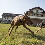 Használt zoknikon edzett kutyákkal szagoltatnák ki a koronavírust brit reptereken
