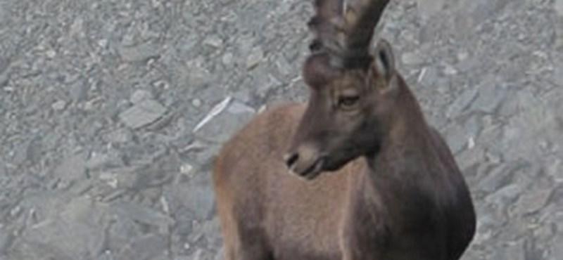 """""""Fröcsögött a vér, kiállt a lábszárcsontom"""" – kőszáli kecske támadt egy osztrák túrázóra"""