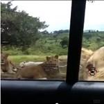 A Trónok harca stábtagja volt a dél-afrikai oroszlántámadás áldozata