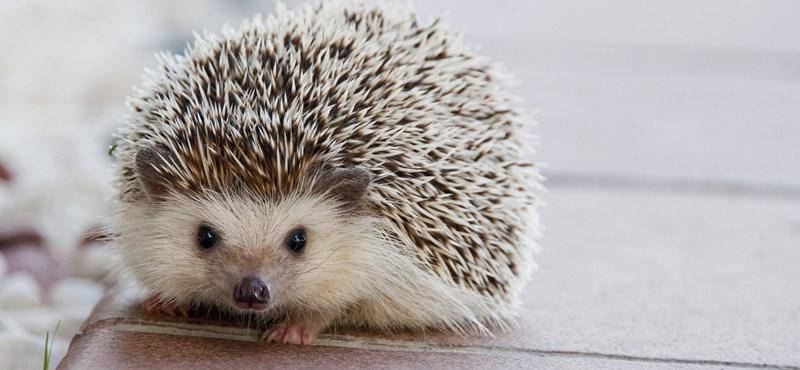 Ez szomorú: a kihalás felé sodródik a sün, a denevér, a mókus, a vadmacska és a patkány is
